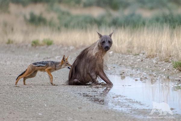 brown hyena (hyaena brunnea)