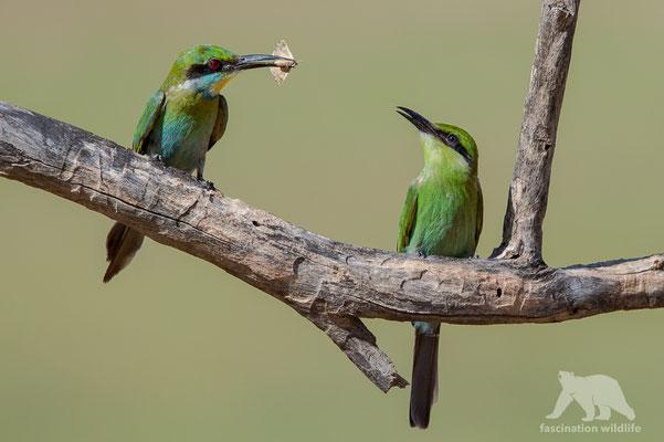 swallow-tailed bea eater (merops hirundineus)