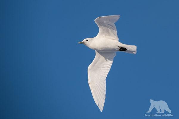 ivory gull (pagophila eburnea)