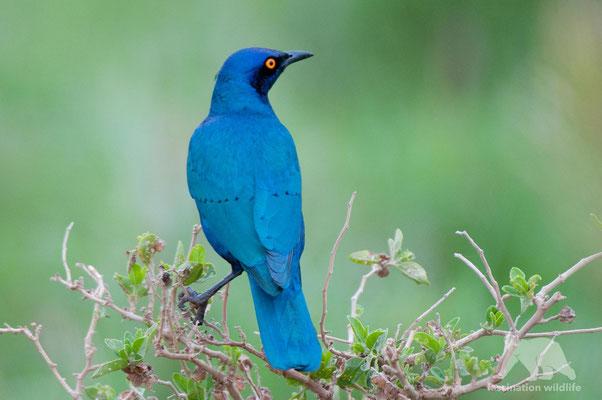 glossy starling (aplonis panayensis)