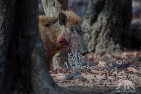 wild boar (sus scrofa cristatus)