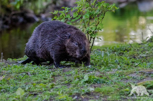 canadian beaver (castor canadensis)