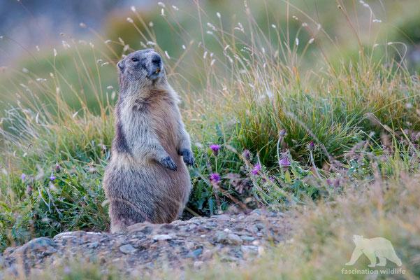 alpine marmot ( marmota marmota)