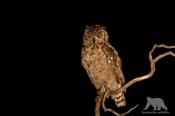 cape owl (bubo capensis)