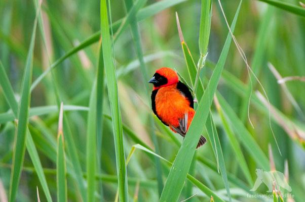 red bishop (euplectes orix)