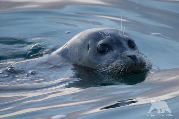 harbor seal ( phoca vitulina)