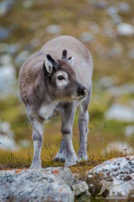 svalbard reindeer calf (rangifer tarandus platyrhynchus)