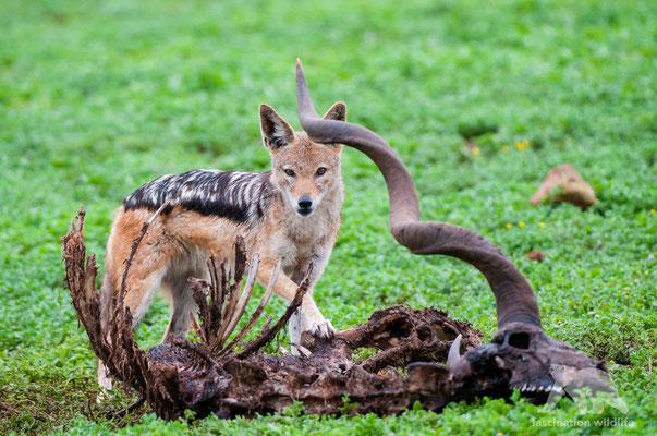 black backed jackal ( canis mesomelas)
