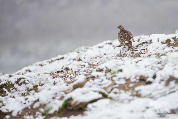 snow grouse (lagopus lagopus)