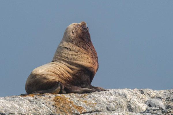 sea lion (zalophus californianus)