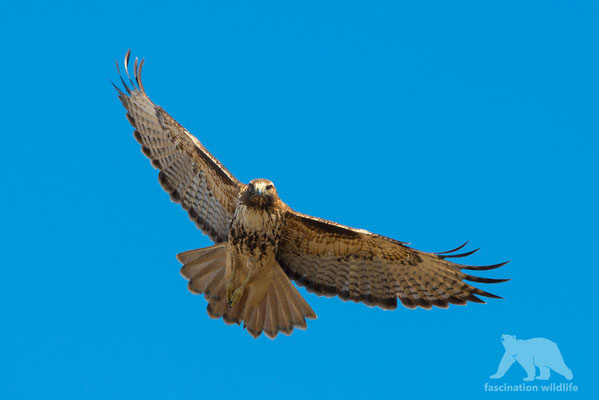 red tailed hawk ( buteo jamaicensis)