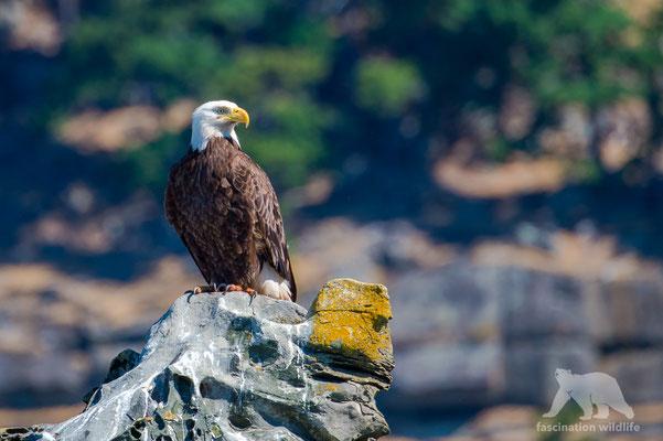 bald eagle (aliaeetus leucocephalus)