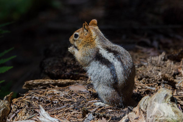 golden-mantled ground squirrel (spermophilus lateralis)