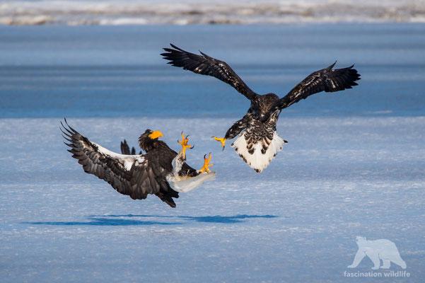 steller's sea eagle (haliaeetus pelagicus)