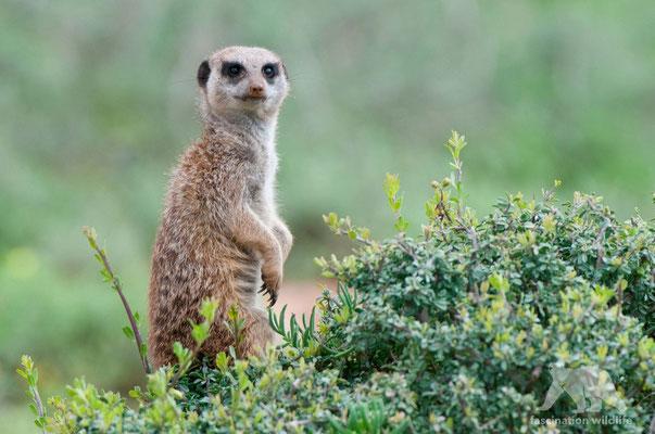 suricate (suricata suricatta)