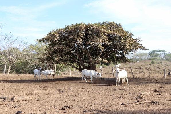 Cows in a dry field as we arrive in Montezuma