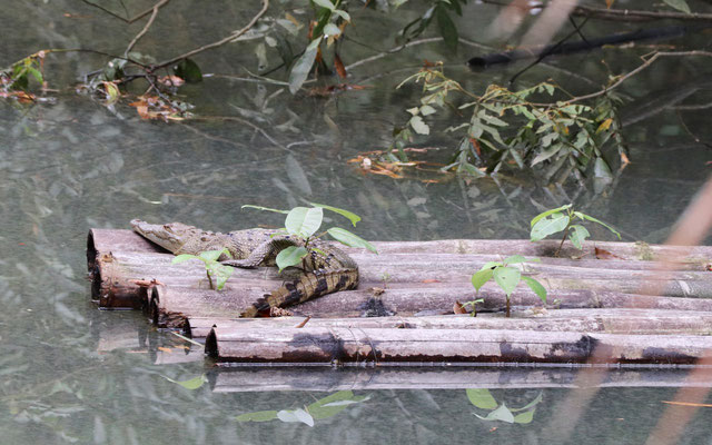 This was the only crocodile we saw, they love to hide under the bushes and mangroves