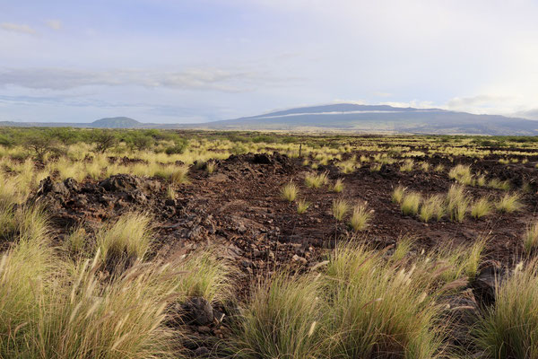 This is what most of the Big Island looks like Lava underground with patched grass bushes