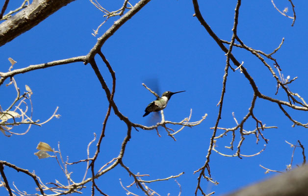 A humming bird in the tree above us