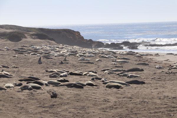 über 100 Robben an der Küste von Kalifornien
