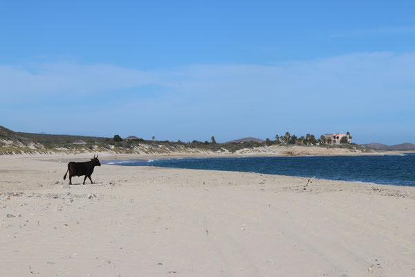 Just one cow walked past us and down the beach as if he was doing his regular beach walk
