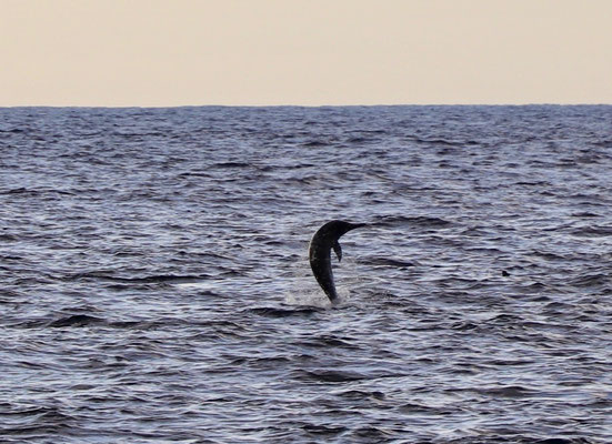 ....so we swam out to them and joined a big pod of Spinner Dolphins...