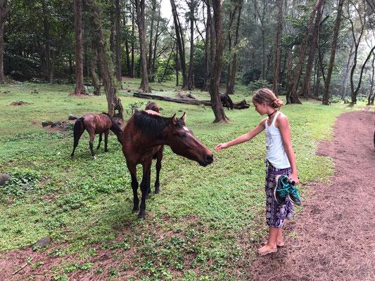 Waipi'o wild horses
