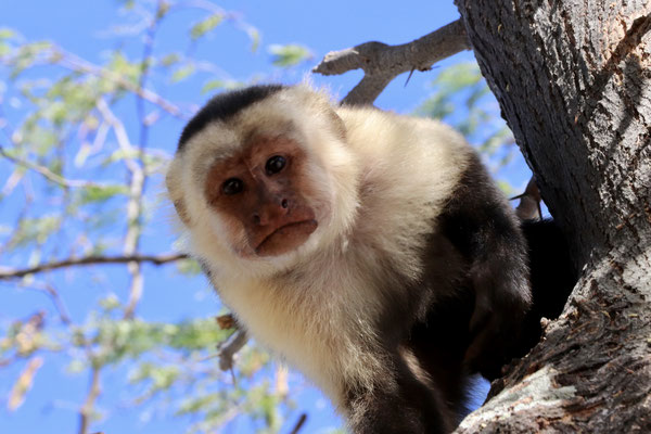 One white faced monkey was very interested to see who was the new visiter and came very close to our camper