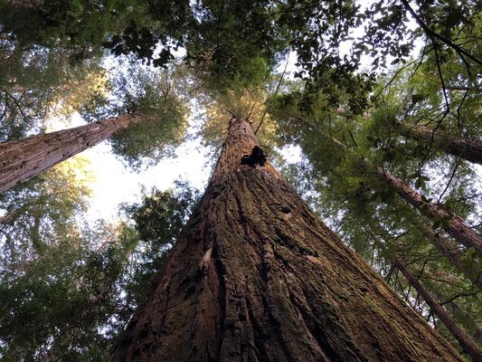 Höchster Baum der Welt