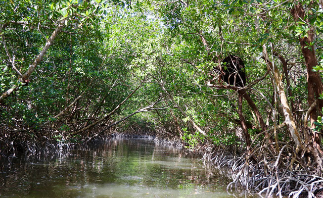 ..into the mangroves..