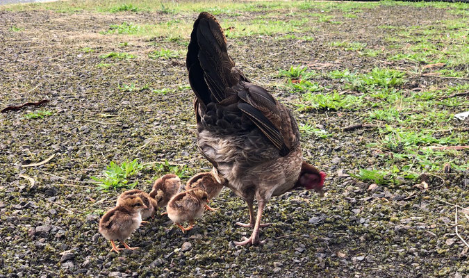 A hen and her baby chics