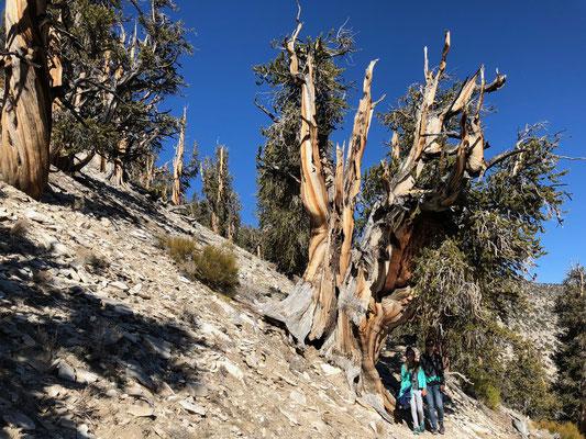 Das ist eventuell der älteste Baum auf der ganzen Welt und zwar 5000 Jahr alt