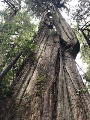 700 Jahr alte Baum
