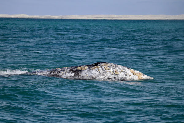 ...come during Christmas time and give birth to their young ones in the Lagoons of Guerrero Negro.