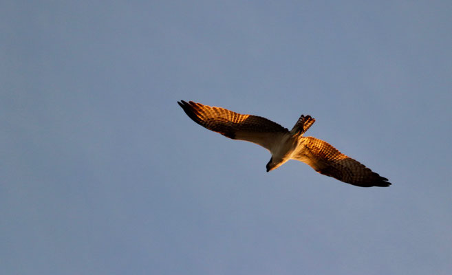 ..we saw an Osprey diving for fishes and...
