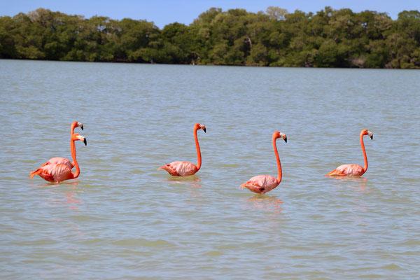 ...Flamingo's eat tiny pink schrimp like creatures