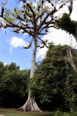 We arrived at the Tikal gates and payed a rather expensive entry compared to Mexico and decided we'd take a guide this time. Jose Luis a local Indigo turned out to be a great guide and also told us about life in Guatemala- here a ceiba tree at Tikal