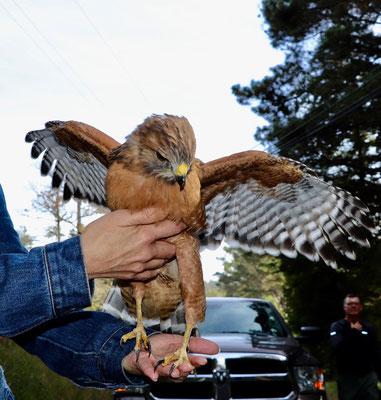 dieser angefahrenen Adler haben wir gerettet