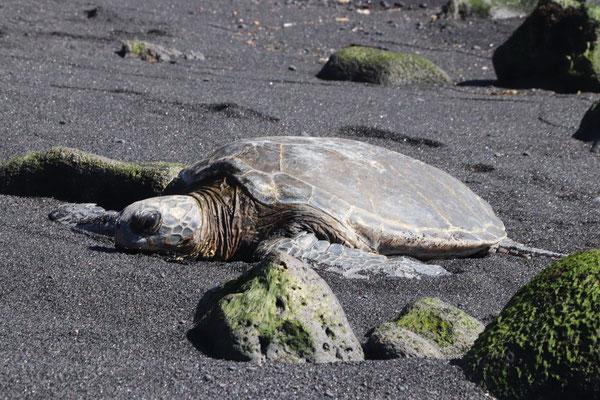 ...resting on Punalu'u Black Beach