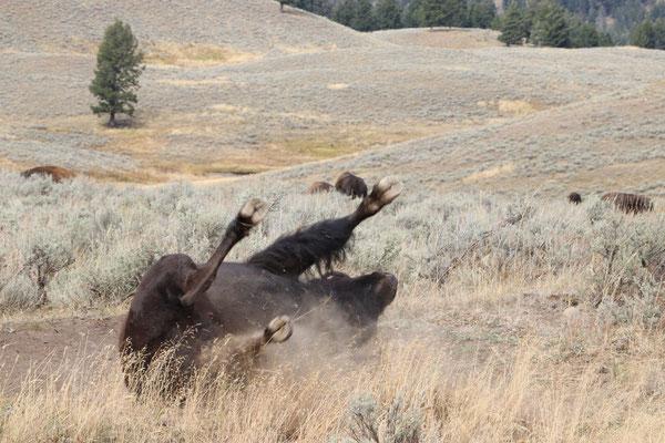 Bison wälzt sich im Dreck
