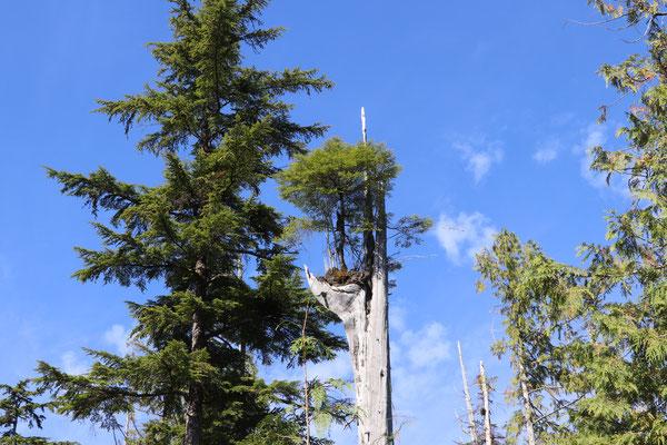 neuer Baum auf altem Baum