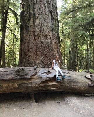 der älteste Baum des Waldes - rund 800 Jahre alt