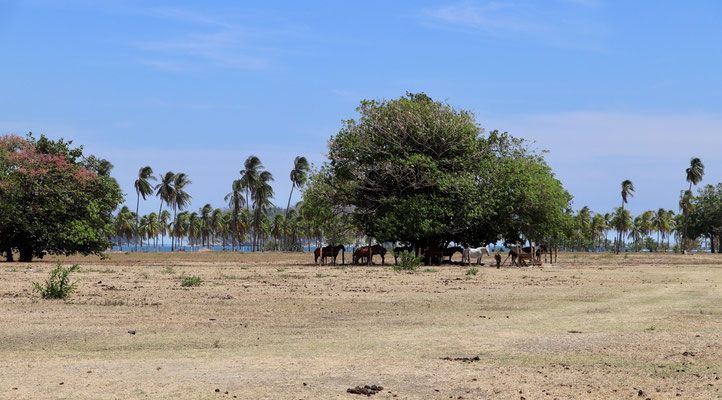 Horses looking for shade under the trees