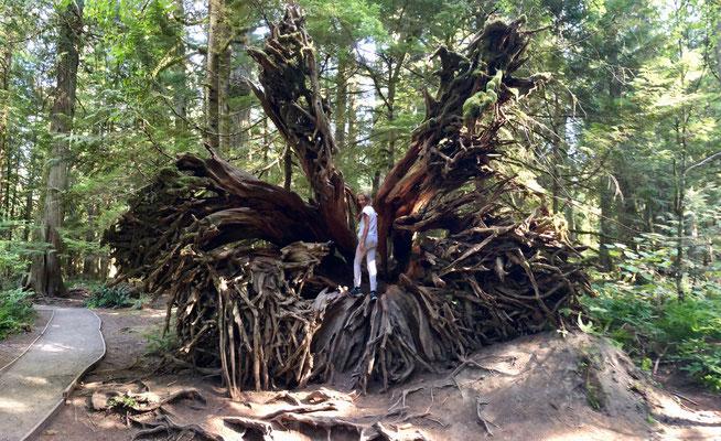 riesiger Wurzelstock eines umgefallenen Baumes