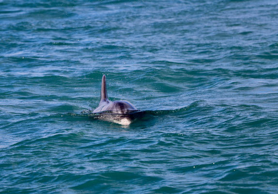 When we went Whale watching we also saw Dolphin's in the Lagoon of Guerrero Negro