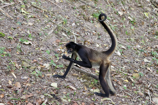 Spider Monkey came for a snack