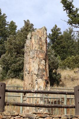 50mio Jahre alter versteinerter Baumstrunk - Petrified Tree