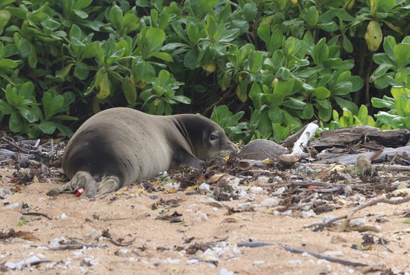 We found a young Monk Seal....