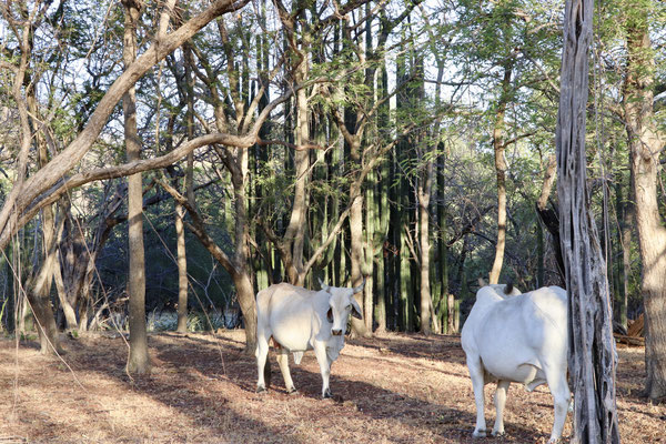 Just behind the white beach there were cows between the trees - I have no idea what they feed off
