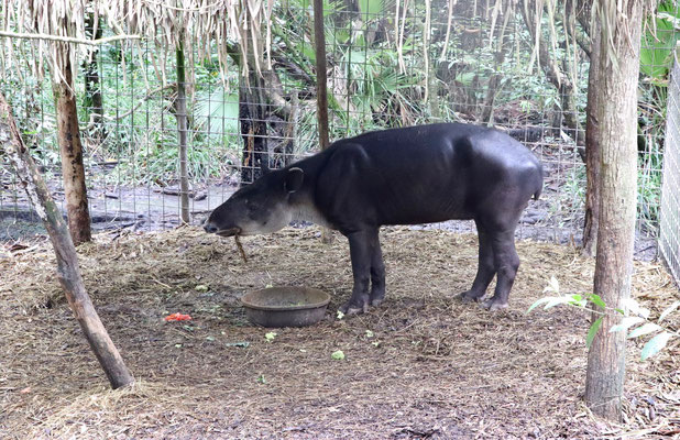 After that we visited Belize Zoo, which started off 30 years ago as an animal refuge - this is the national animal of Belize the Tapir